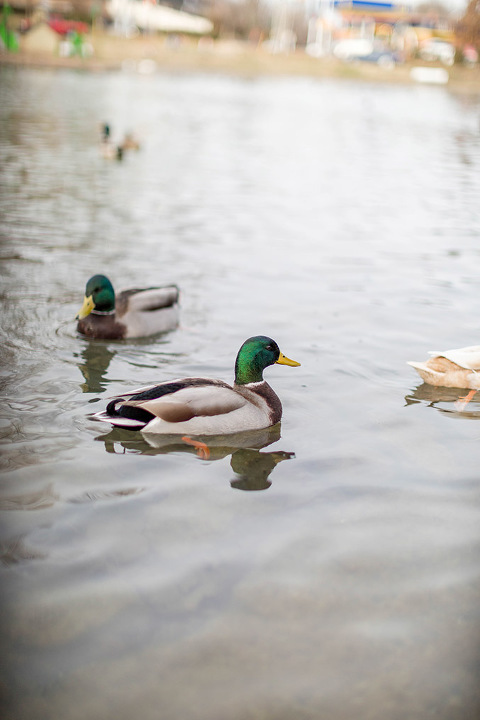 Spending The Day With Ducks At Gypsy Hill Park | dreamgreendiy.com